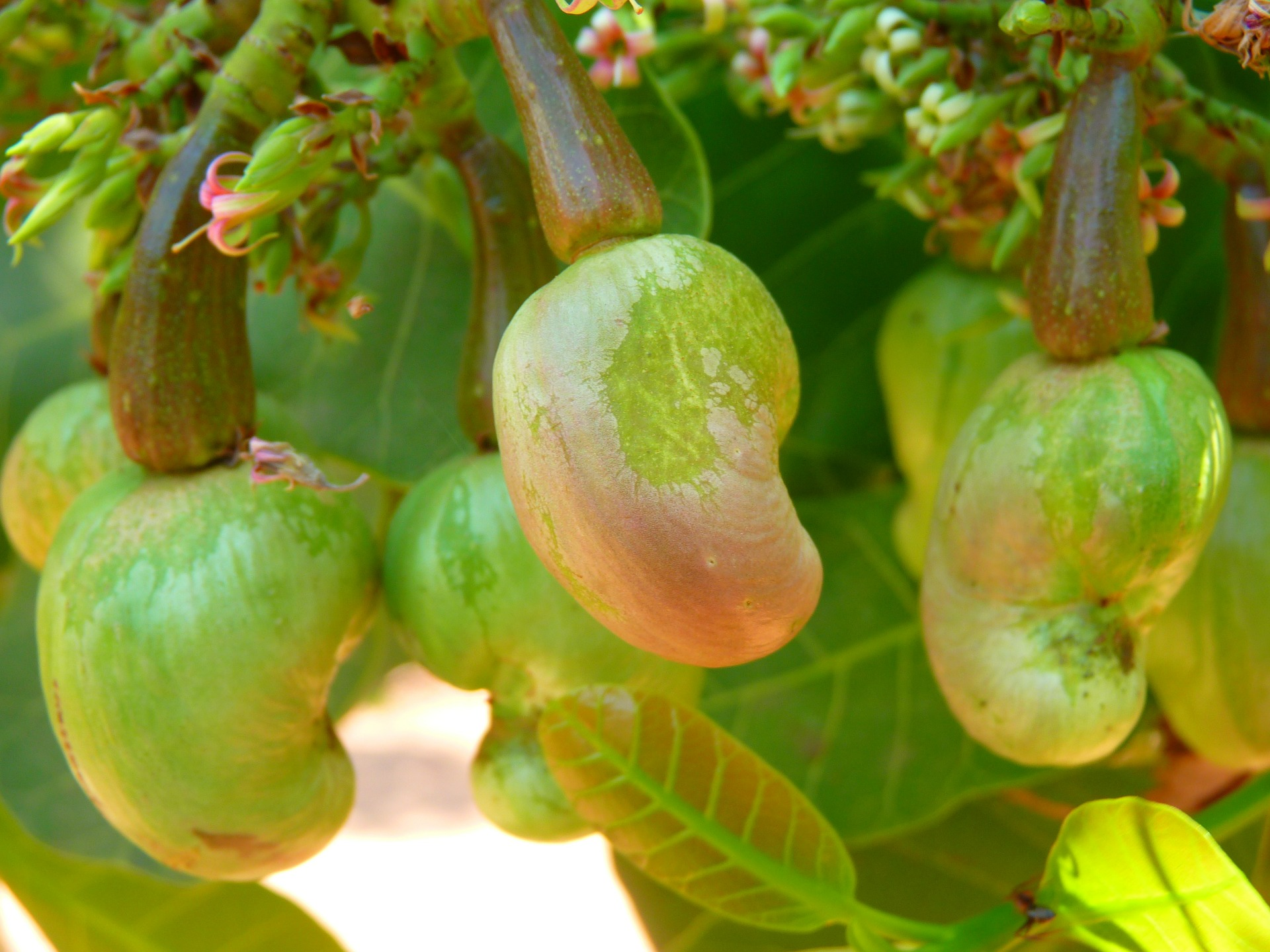Cashewnüsse Frucht