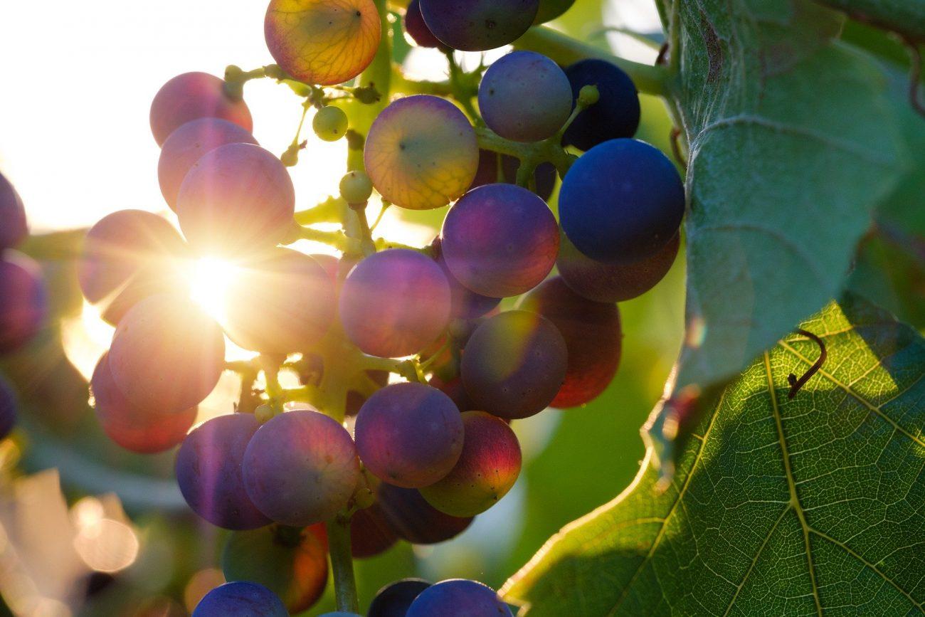 Trauben und ihr Traubenkernextrakt