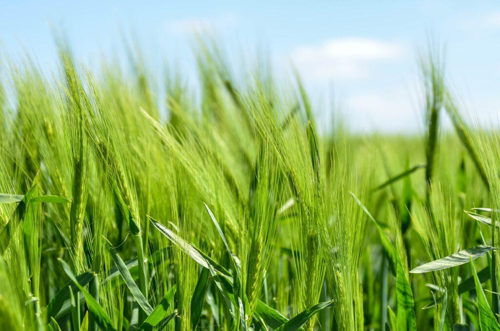 Gerstengras ist das junge Gras der Gerste.